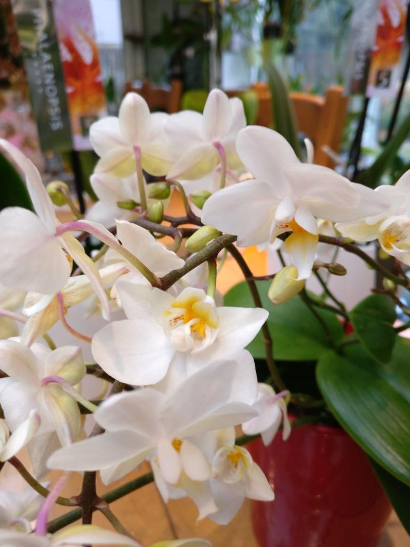 Mes phalaenopsis. Dernières acquisitions Img_2352