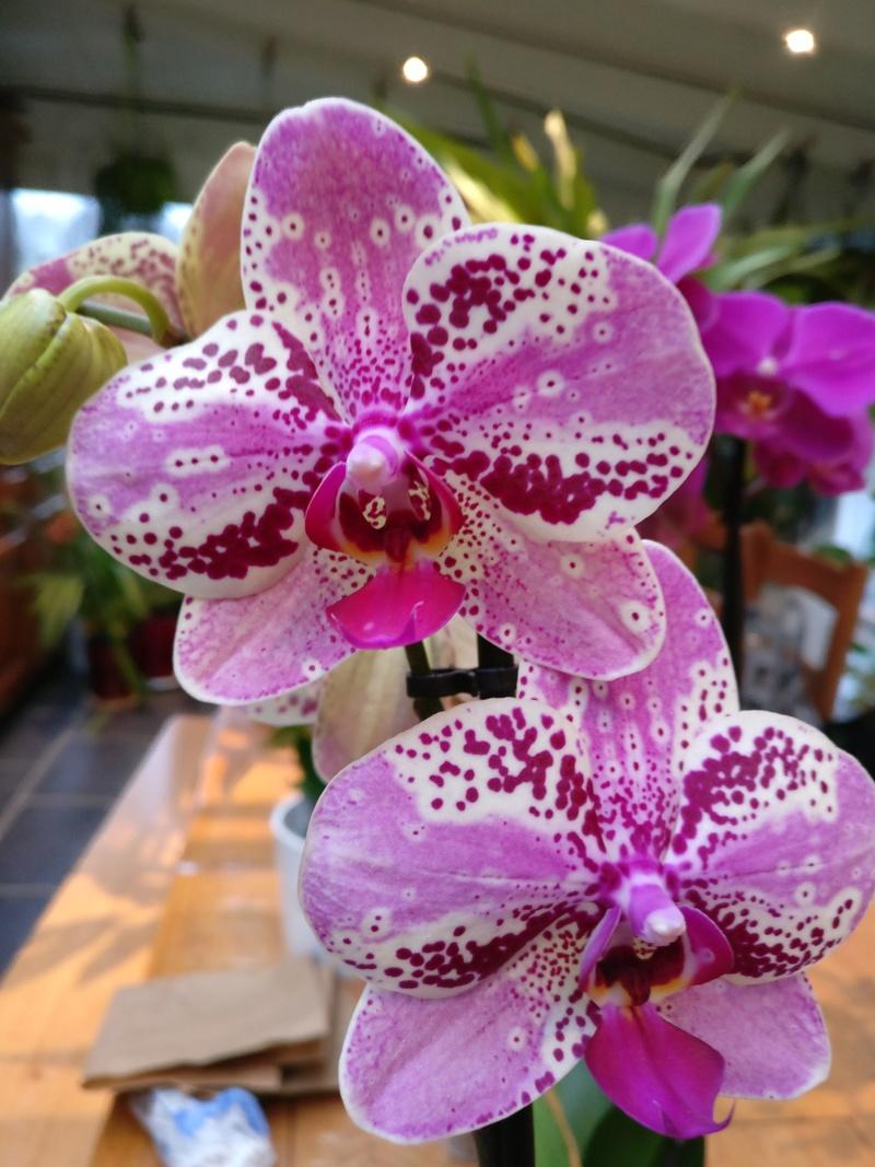 Mes phalaenopsis. Dernières acquisitions Img_2353