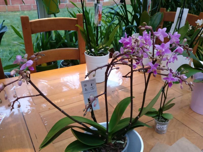 Mes phalaenopsis. Dernières acquisitions Img_2354