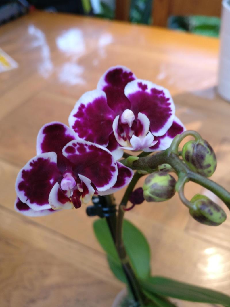Mes phalaenopsis. Dernières acquisitions Img_2355