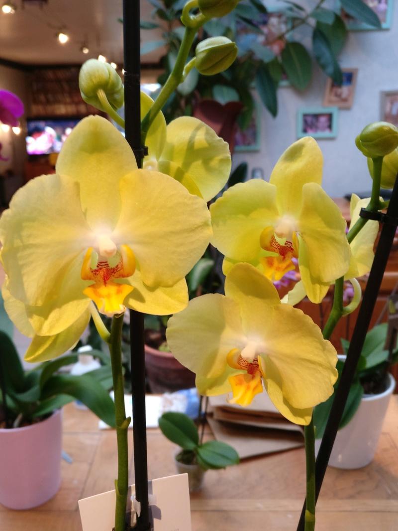 Mes phalaenopsis. Dernières acquisitions Img_2356