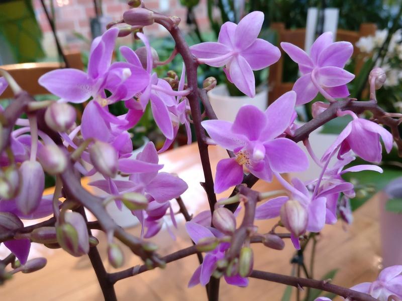 Mes phalaenopsis. Dernières acquisitions Img_2357