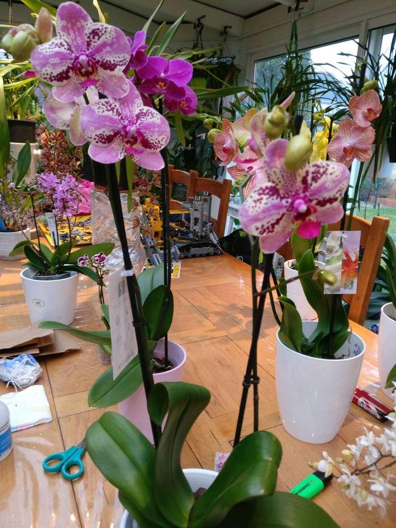 Mes phalaenopsis. Dernières acquisitions Img_2360