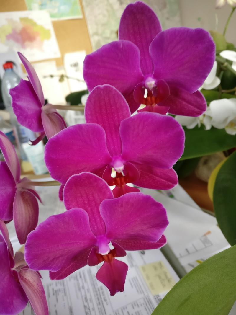 phalaenopsis au bureau - Page 2 Img_2361