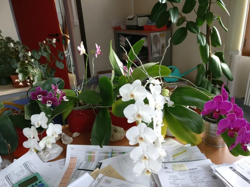 phalaenopsis au bureau - Page 2 Img_2362