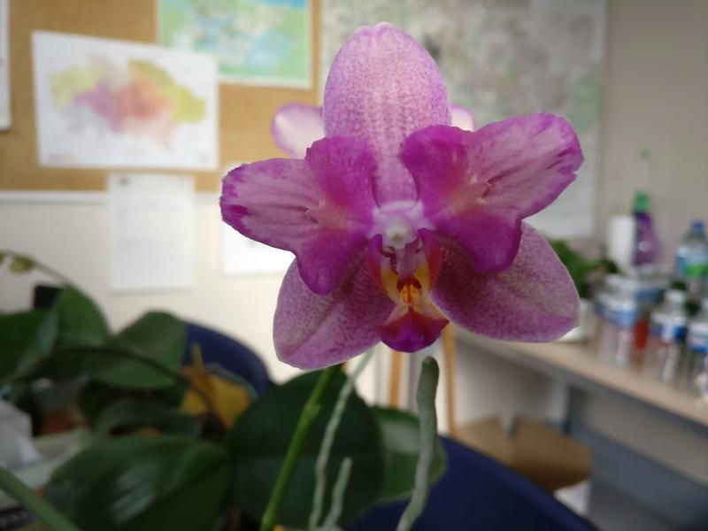 phalaenopsis au bureau - Page 2 Img_2363