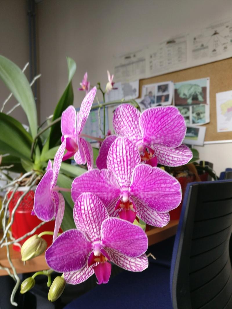 phalaenopsis au bureau - Page 2 Img_2364
