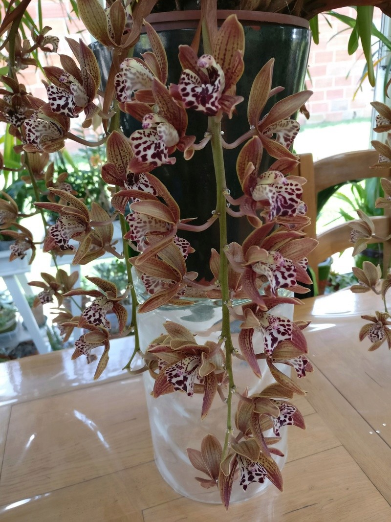 Cymbidium vogel Magic x spotted freak Img_2385