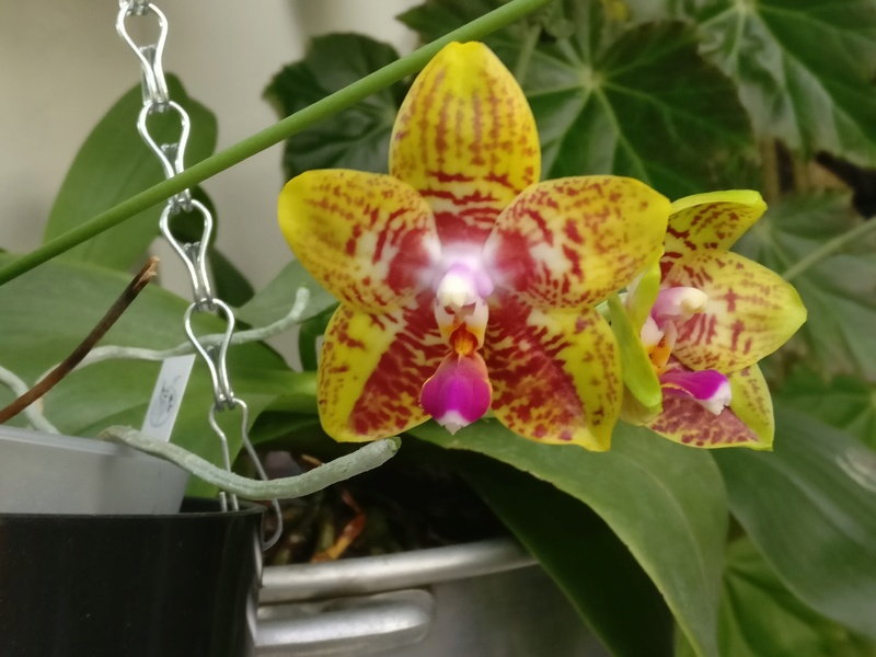 phal orchid world Img_2393