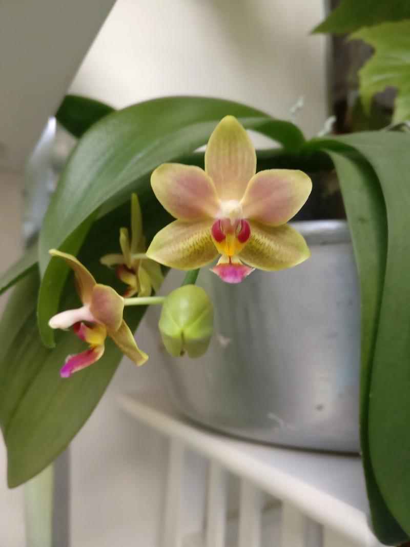 phalaenopsis orianne Img_2397