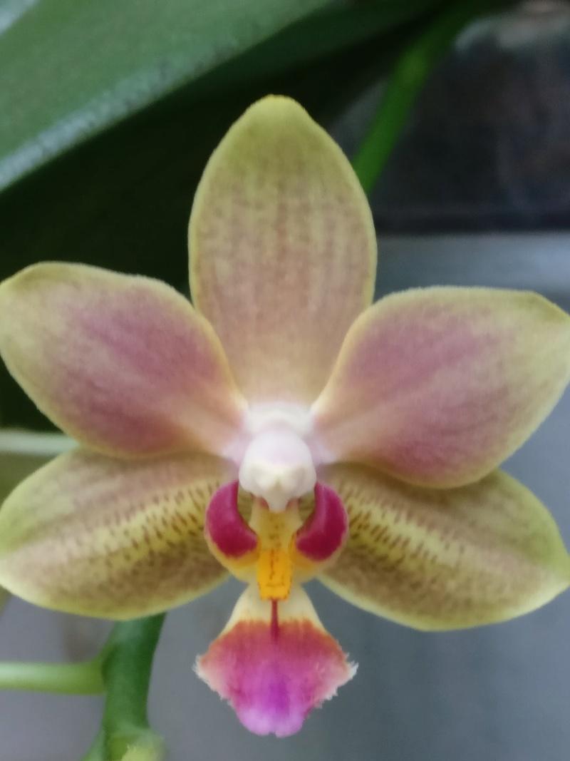 phalaenopsis orianne Img_2398
