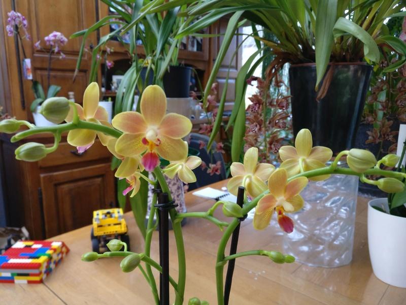 phalaenopsis orianne Img_2422