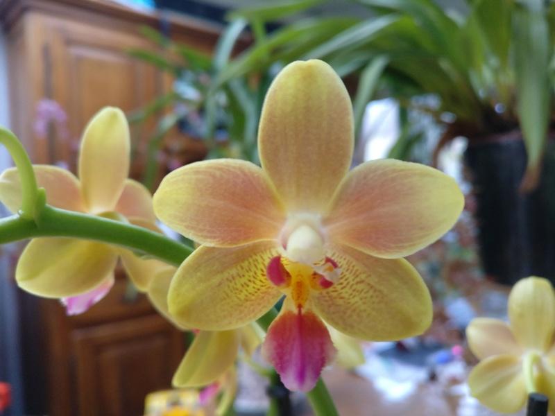 phalaenopsis orianne Img_2423