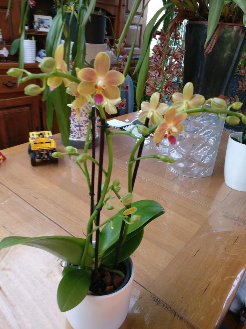phalaenopsis orianne Img_2424