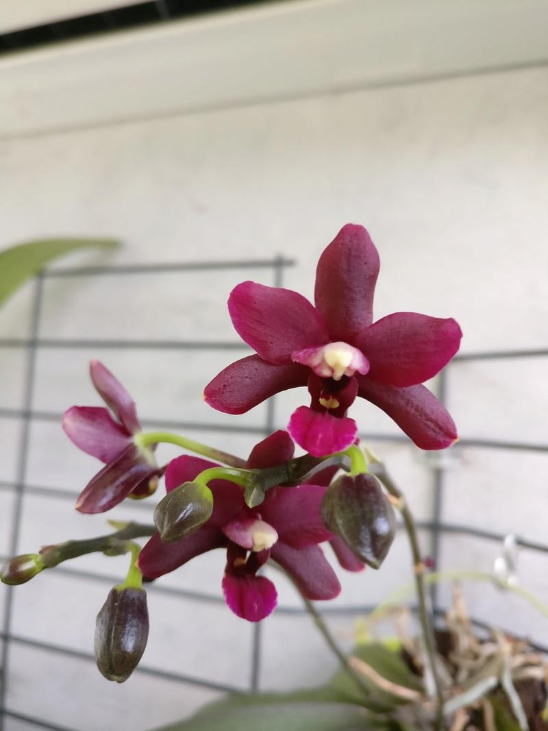 Phalaenopsis hybride pourpre à petites fleurs Img_2426