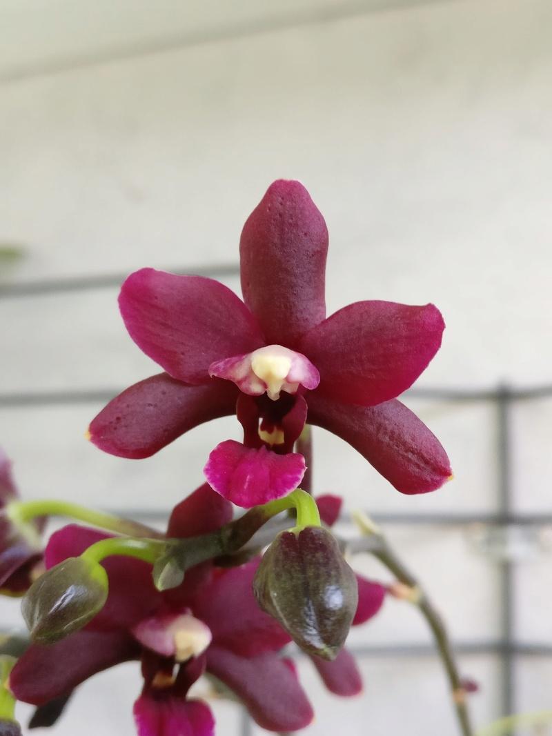 Phalaenopsis hybride pourpre à petites fleurs Img_2427