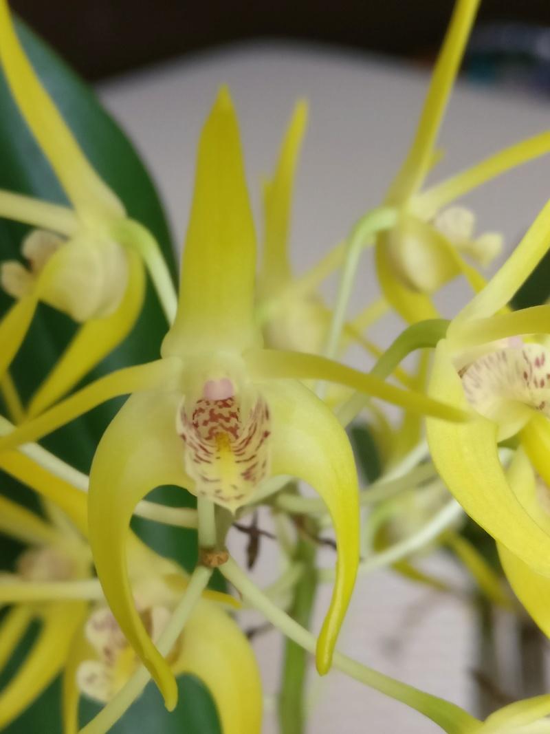 Dendrobium (speciosum x gracilicaule) x (speciosum x tetragonum) Img_2435