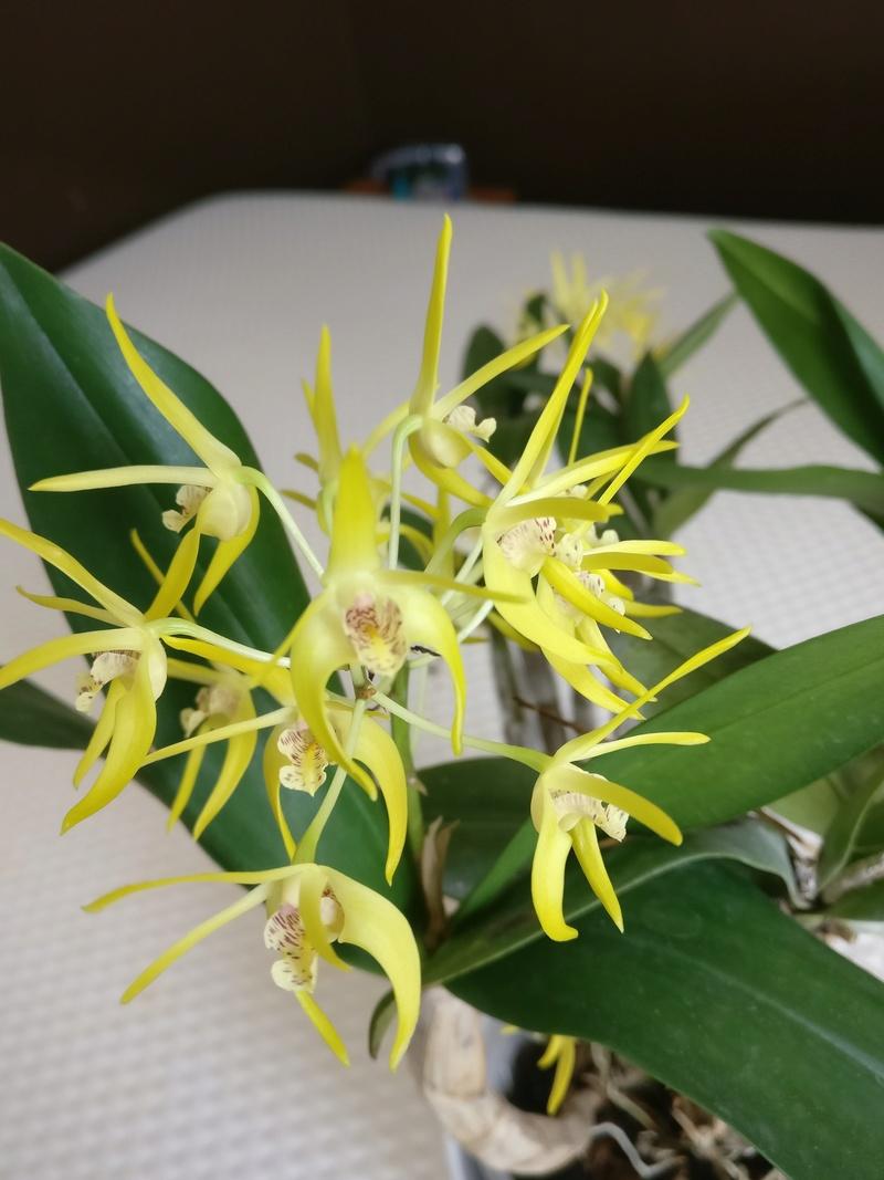 Dendrobium (speciosum x gracilicaule) x (speciosum x tetragonum) Img_2438