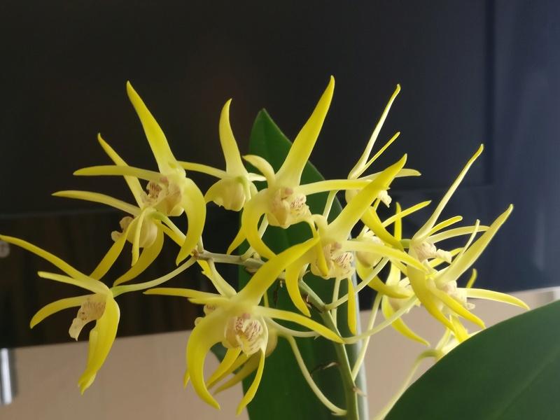Dendrobium (speciosum x gracilicaule) x (speciosum x tetragonum) Img_2439