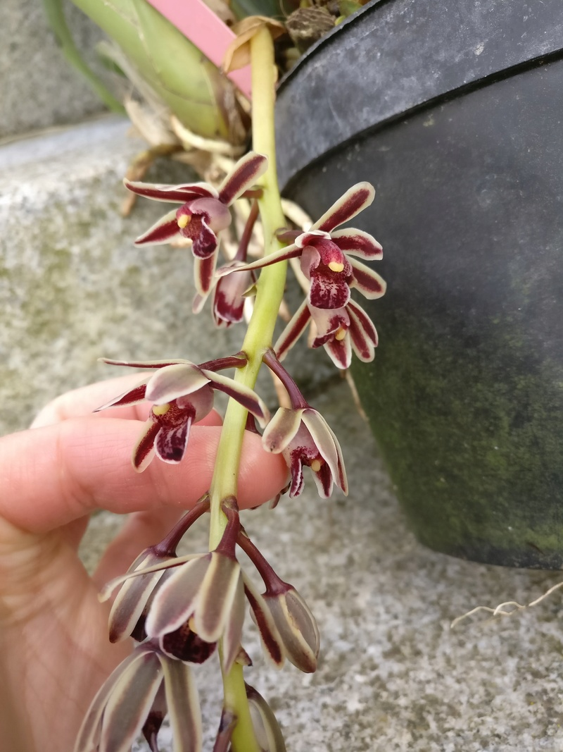 Cymbidium bicolor Img_2452