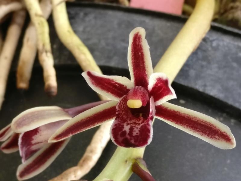 Cymbidium bicolor Img_2453