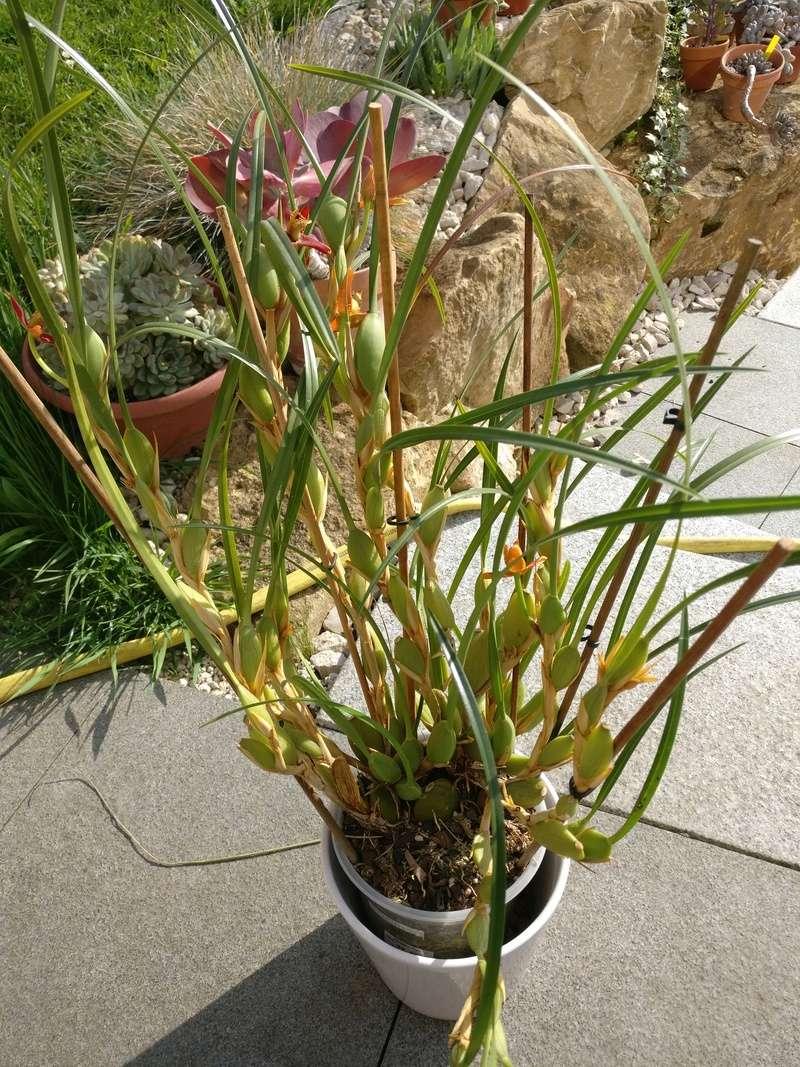 maxillaria tenuifolia - Page 2 Img_2462