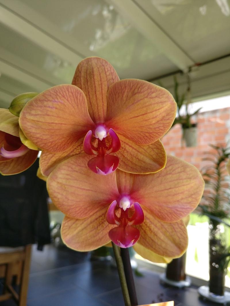 Phalaenopsis hybride orange Img_2478
