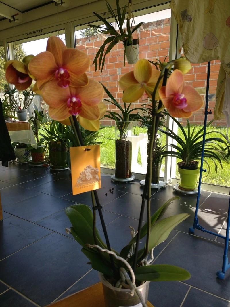 Phalaenopsis hybride orange Img_2479
