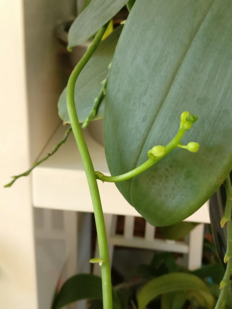 doritaenopsis blanc Img_2481