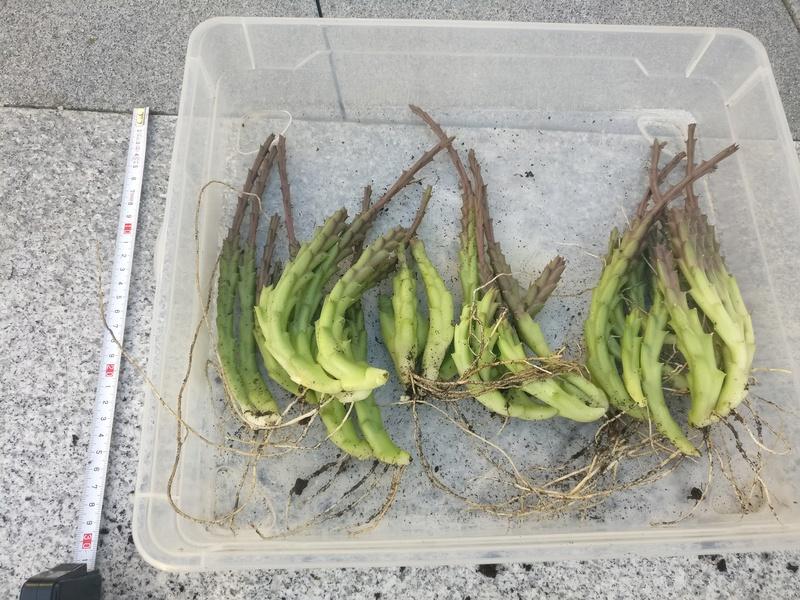 bouture d'aloe vera et de stapelia variegata Img_2521