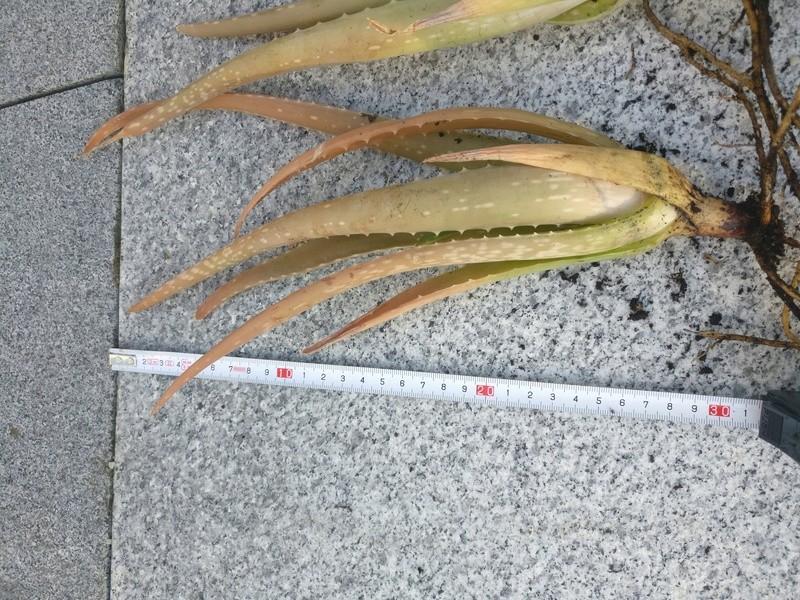 bouture d'aloe vera et de stapelia variegata Img_2523
