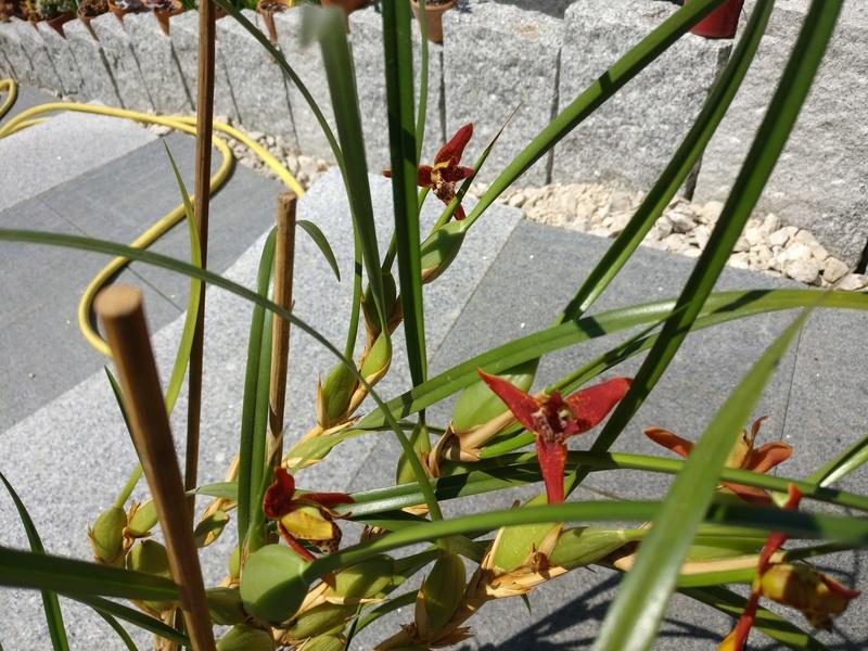 maxillaria tenuifolia - Page 2 Img_2526