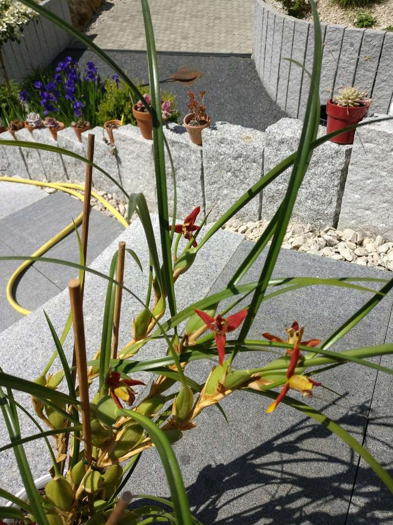 maxillaria tenuifolia - Page 2 Img_2527