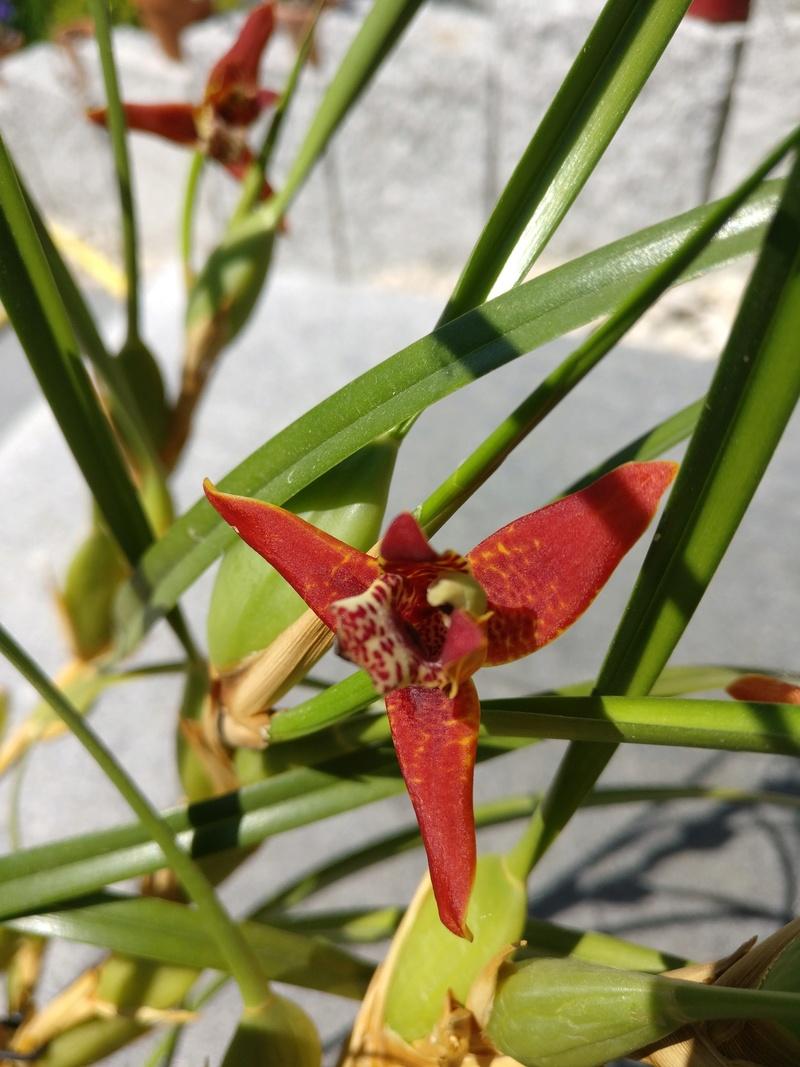 maxillaria tenuifolia - Page 2 Img_2528