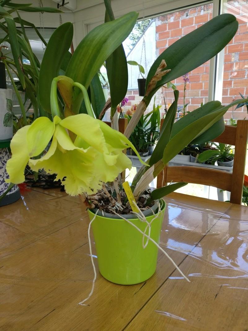 Cattleya vert  Img_2531