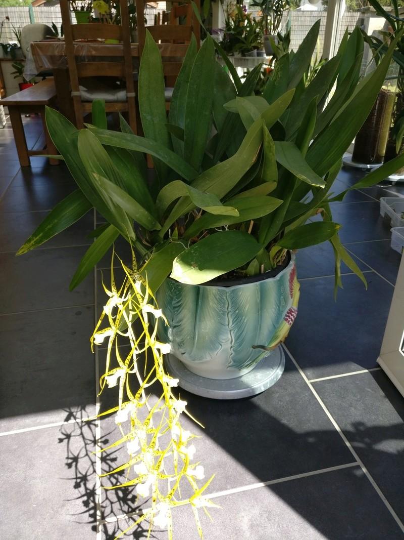 Brassia Le Magnifique Img_2533