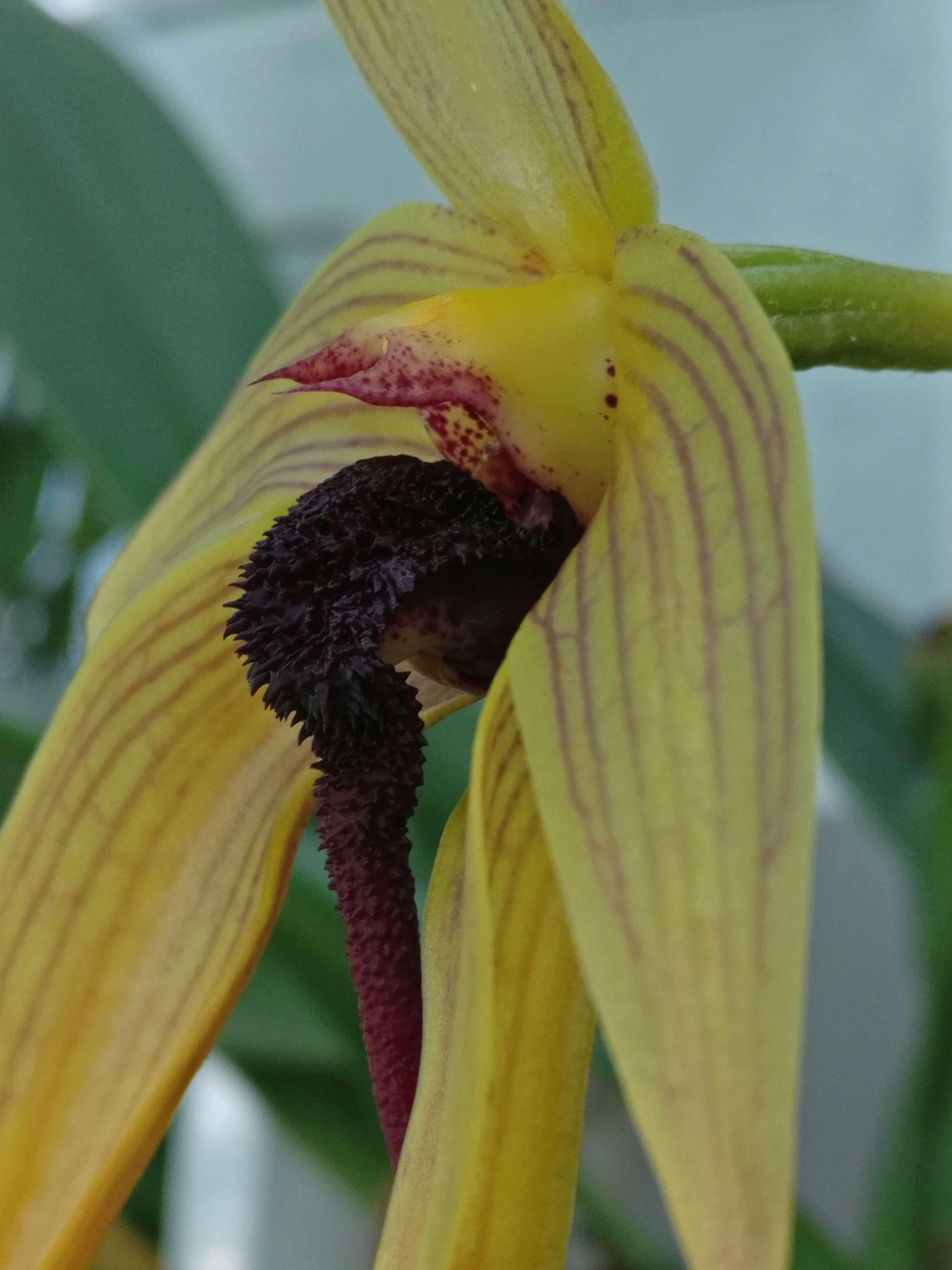 bulbophyllum Echinolabium x carunculatum Img_2555