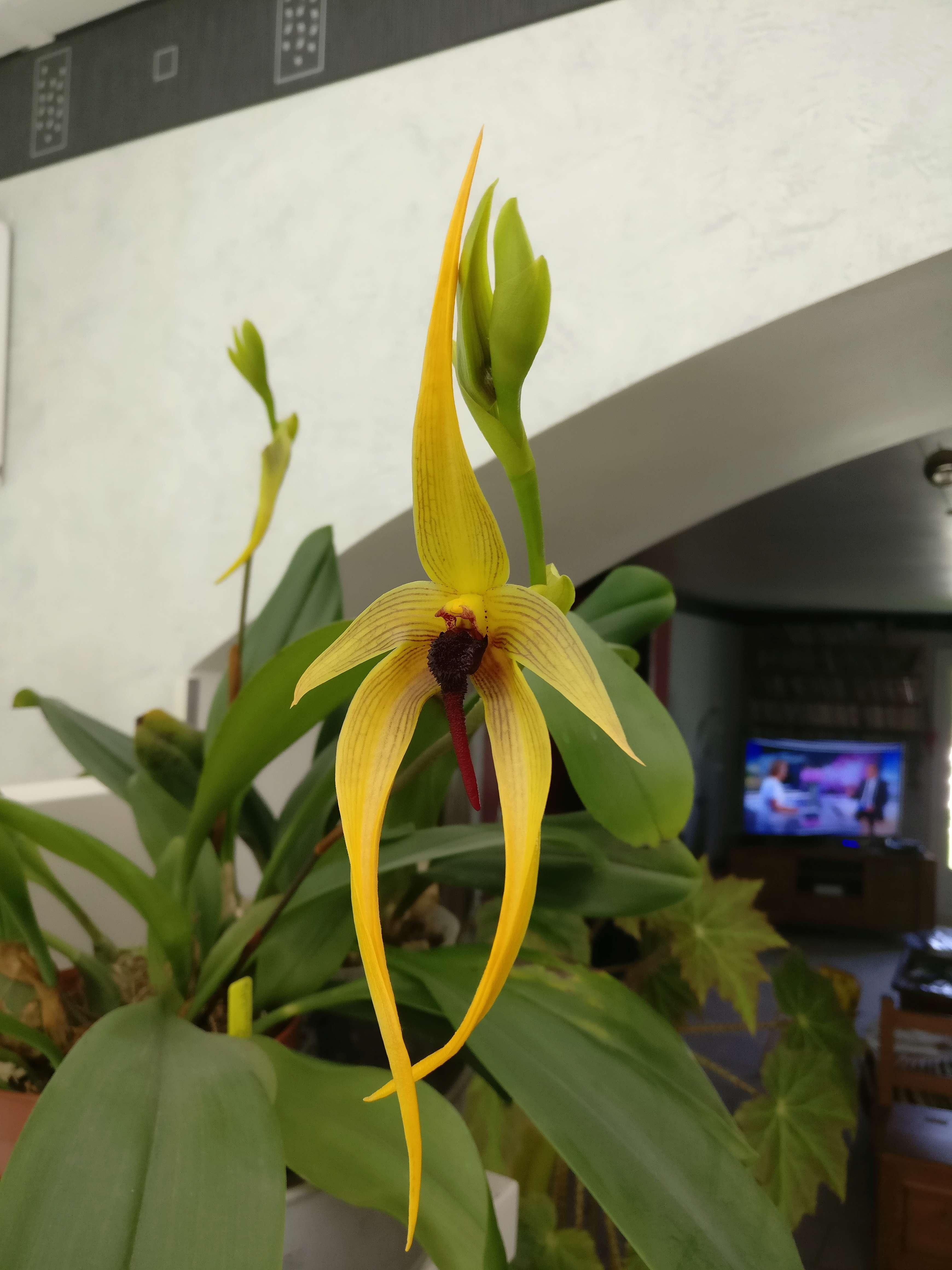 bulbophyllum Echinolabium x carunculatum Img_2559