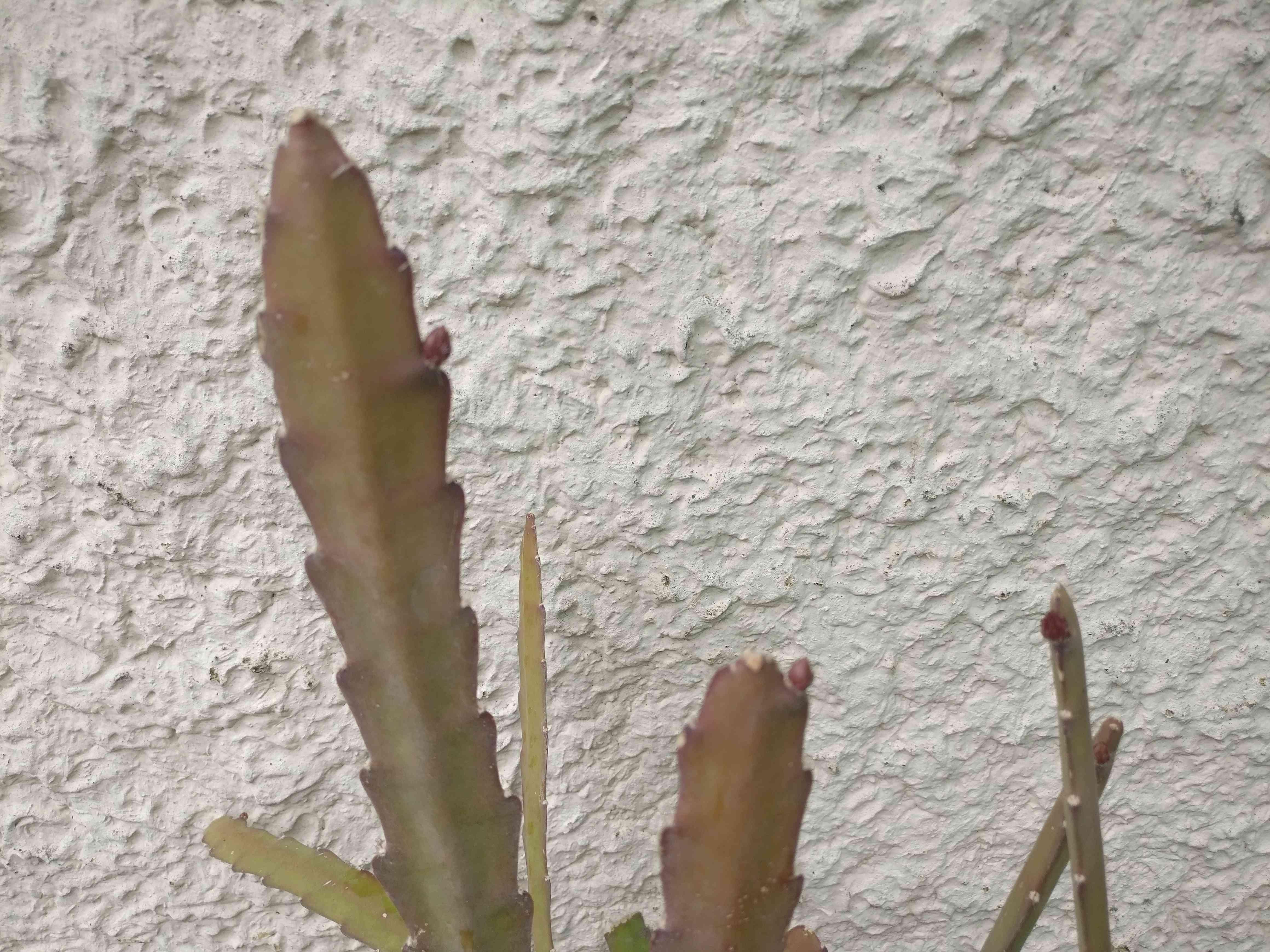 epiphyllum - Page 2 Img_2561