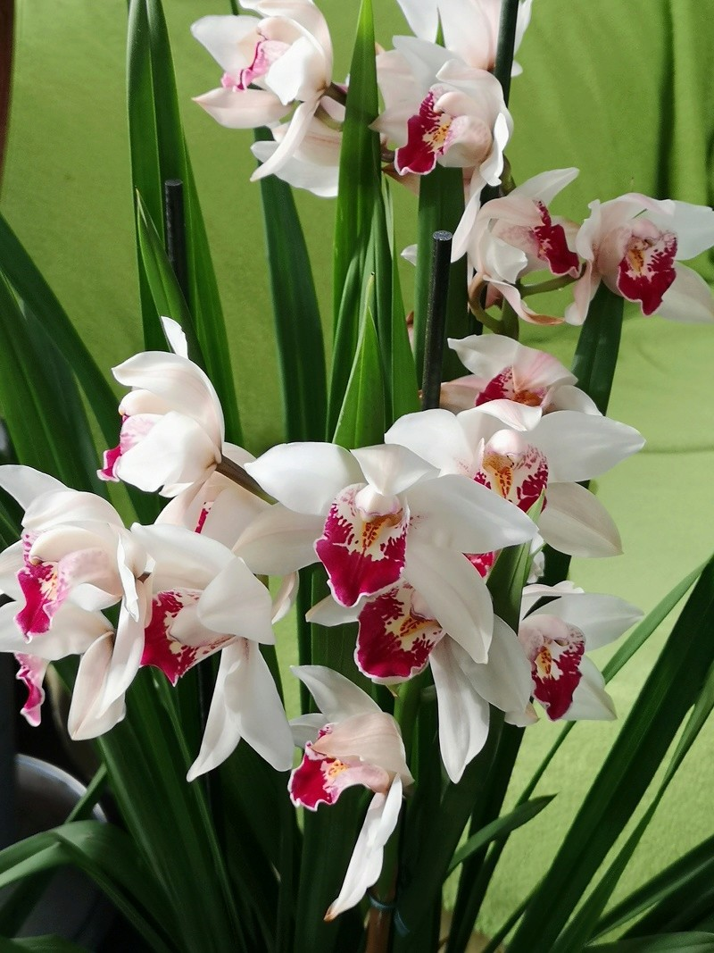 Cymbidium blanc labelle rouge Img_2573