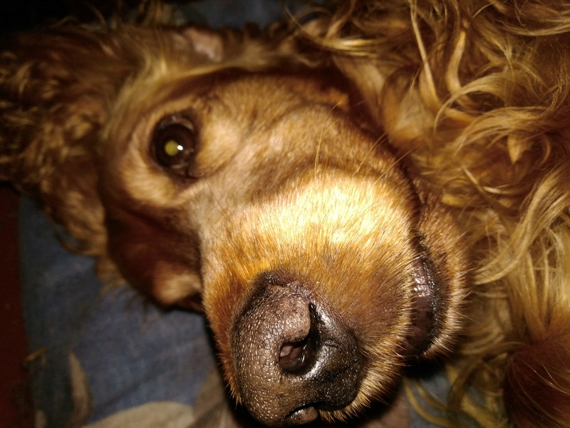 GARY (cocker golden) - Page 2 Img_2010
