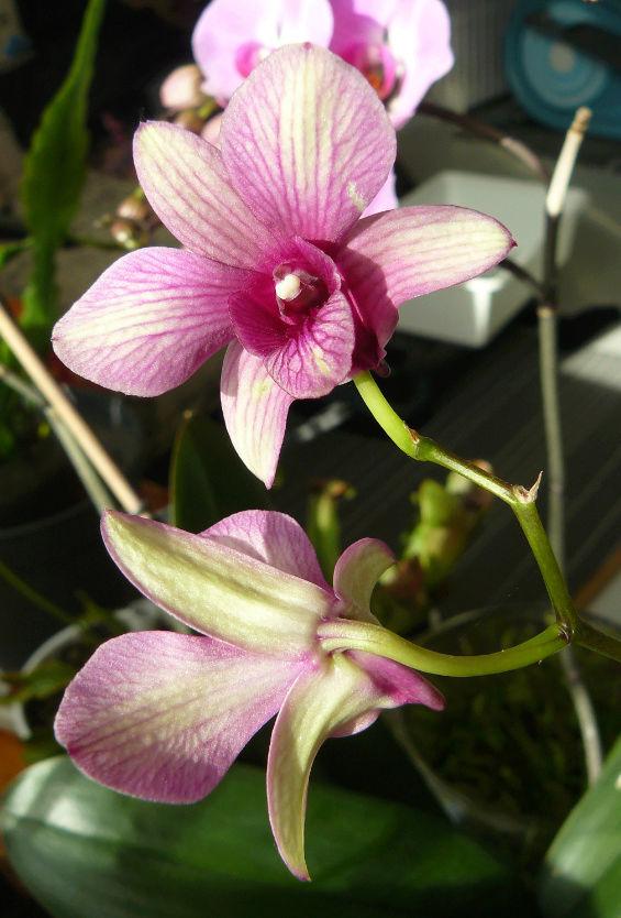 orchidées - floraisons du moment 2018 Dendro10