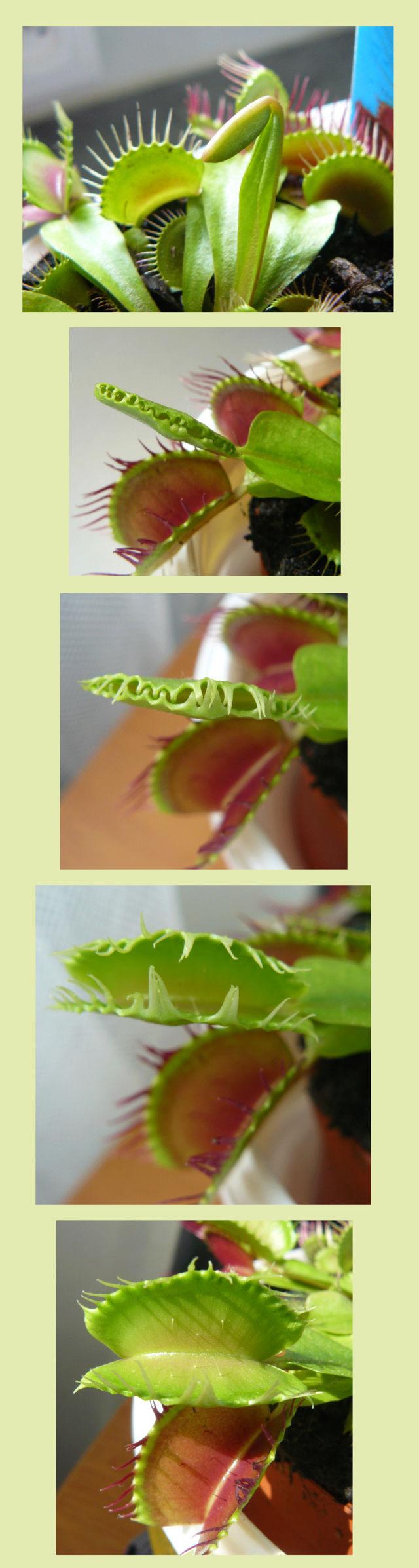 Dionaea muscipula - dionée Diony_10