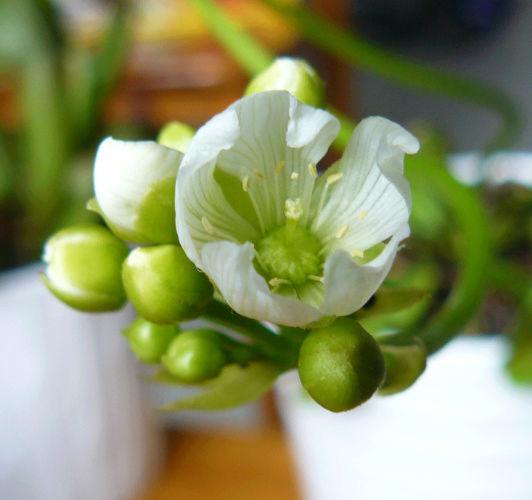 Dionaea muscipula - dionée Dionye11
