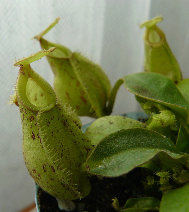 Nepenthes - plantes carnivores tropicales  Nep_210