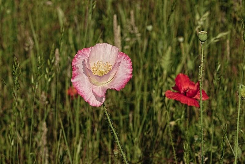 Coquelicot Rose 1mib6112