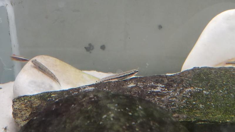 mes aquariums à gobies  20180437