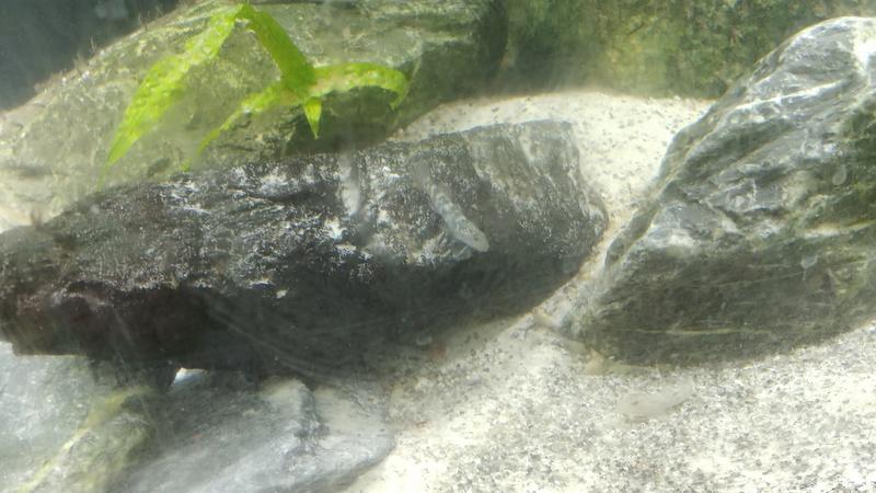 mes aquariums à gobies  20180452