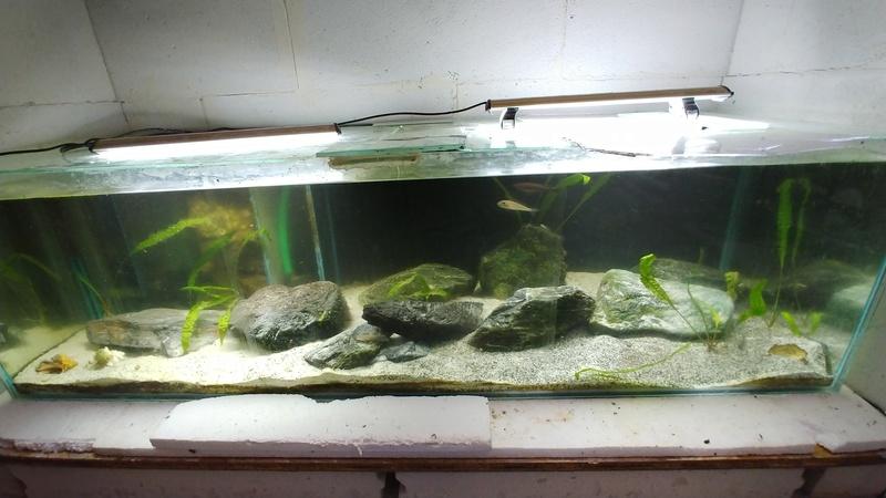 mes aquariums à gobies  20180467
