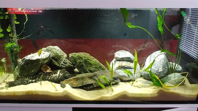 mes aquariums à gobies  20180533